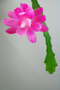 Epiphyllum ackermannii pink orchid cactus flower on a grey background Stock Images