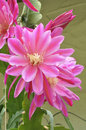 Epiphyllum wendy beautiful pink fowers of hybrid in full bloom Stock Images