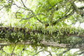 Epiphyte growing in rainforest the tropical of the cook islands Stock Photo