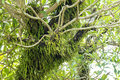 Epiphyte growing in rainforest the tropical of the cook islands Stock Image