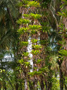Epiphytes on coconuts trees many bromeliad trunks of coconut palm caribbean costa rica Royalty Free Stock Images