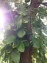 Epipremnum aureus money plant plant climbing tree in south daytona florida Royalty Free Stock Photos