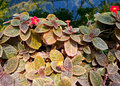 Episcia or gesneriaceae close up shot of flowers Royalty Free Stock Images