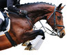 Equestrianism: Bay horse in jumping show, isolated Royalty Free Stock Photo