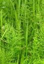 Equisetum Royalty Free Stock Photography
