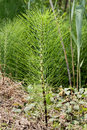Equisetum or horsetail officinal plant spontaneous flora medicinal herb used to prepare healthy teas and therapeutic poultices Royalty Free Stock Photos