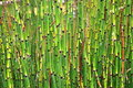 Equisetum hyemale L. Robusta in beautiful garden Stock Photography