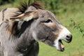 Equus africanus asinus Royalty Free Stock Photo