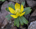 Eranthis Royalty Free Stock Photo