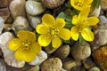 Eranthis hyemalis Royalty Free Stock Photos