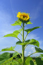 Erect sunflower helianthus annuus a single growing up high against a blue sky Royalty Free Stock Image