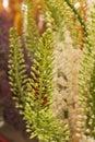 Eremurus, Foxtail Lilly