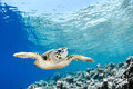 Eretmochelys imbricata hawksbill sea turtle in blue lagoon of indian ocean maldives Stock Images