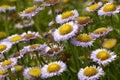 Erigeron glaucus, seaside daisy Royalty Free Stock Photo