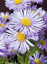 Erigeron 'Prosperity' Royalty Free Stock Photos