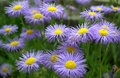 Erigeron speciosus flower close up ornamental flowering summer blooms june july blooms in lavender blue flowers with yellow disc Royalty Free Stock Image