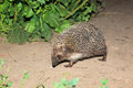 Erinaceus europaeus western european hedgehog denisovo ryazan region pronsky area russia Royalty Free Stock Photo