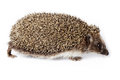 Erinaceus europaeus western european hedgehog in front of white background isolated denisovo ryazan region pronsky area russia Stock Image