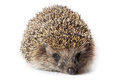 Erinaceus europaeus western european hedgehog in front of white background isolated denisovo ryazan region pronsky area russia Royalty Free Stock Photo