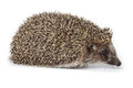 Erinaceus europaeus western european hedgehog in front of white background isolated denisovo ryazan region pronsky area russia Royalty Free Stock Photos