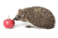Erinaceus europaeus western european hedgehog in front of white background isolated denisovo ryazan region pronsky area russia Stock Images