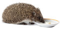 Erinaceus europaeus western european hedgehog in front of white background isolated denisovo ryazan region pronsky area russia Royalty Free Stock Image