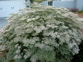 Eriogonum giganteum st catherine s lace hemispherical evergreen shrub with oval shaped grey leaves and small white flowers Stock Images