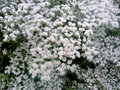 Eriogonum giganteum st catherine s lace hemispherical evergreen shrub with oval shaped grey leaves and small white flowers Stock Photography
