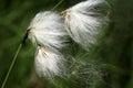 Eriophorum angustifolium Royalty Free Stock Photo