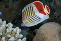 Eritrean butterflyfish Stockbild