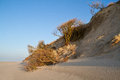 Erosion of dunes sand and bushes fallen down on the beach Stock Images