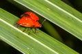 Erotylid Beetle Royalty Free Stock Photo