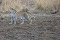 Erwachsener leopard der im offenen steht Lizenzfreie Stockfotografie