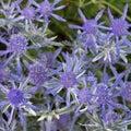 Eryngium Jade Frost Royalty Free Stock Photo