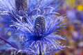 Eryngium oliverianum Sea Holly flower, blue plant Royalty Free Stock Photo