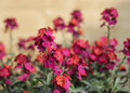 Erysimum bowles mauve with purple and red flowers shallow depth of field Royalty Free Stock Photos