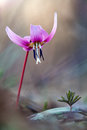 Erythronium dens canis with blurred background Royalty Free Stock Photo