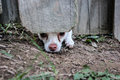The escape little chihuahua tries to dig an hole from a fenced in back yard Stock Photo