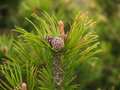 Escapes of a pine mountain with cones and kidneys (Pinus mugo Tu Royalty Free Stock Photo