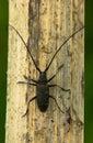 Escarabajo del Capricornio Imagenes de archivo