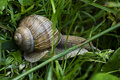 Escargot dans l'herbe Photos libres de droits