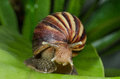Escargot is moving on green leaf the Stock Photos