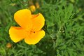 Eschscholzia californica California poppy Royalty Free Stock Photo