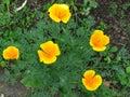 Eschscholzia californica, California poppy. Garden vivid orange yellow translucent poppy flower. Spring, summer, autumn flower.