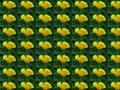 Eschscholzia californica, California poppy. Garden vivid orange yellow translucent poppy flower floral background concept.