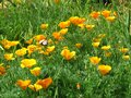 Eschscholzia californica, California poppy. Garden vivid orange yellow translucent poppy flower on green leaves background.