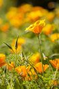 Eschscholzia californica, yellow and orange poppy wild flowers. Royalty Free Stock Photo