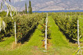 Espalier apple trees growing at pacific agri food research center summerland bc canada Stock Images