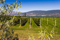 Espalier apple trees at pacific agri food research center summerland bc canada Royalty Free Stock Photo