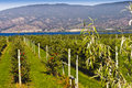 Espalier apple trees trained style at the pacific agri food research center summerland bc canada Stock Image